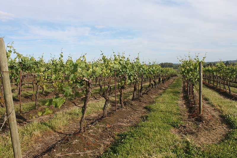 Ankeny Vineyard in Salem, Oregon